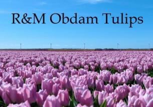 R&M Obdam Tulips